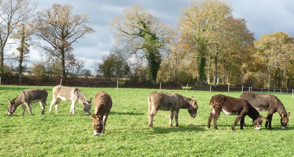 Les ânes de Min Guen - les ânes